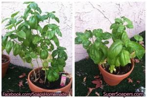 basil-plants
