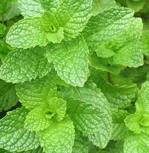 spearmint-leaves""